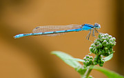 Damselfly Prints - Blue Damselfly Print by Betty LaRue