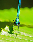 Cathy Leite - Blue Damselfly Front View