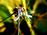 Sunbath Posters - Blue Damselfly in Grasslands Poster by Jason Christopher