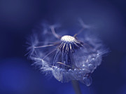 Dandelion Seed Prints - Blue Dandy Print by Sharon  Talson
