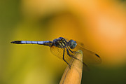 Day Lilly Prints - Blue Dasher - D007665 Print by Daniel Dempster