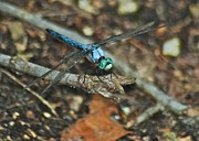 Dragonfly Eyes Prints - Blue Dasher 8658 3287 Print by Michael Peychich
