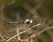 Winged Art - Blue Dasher 8769 by Michael Peychich