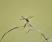 Blue Dragon Fly Posters - Blue Dasher Dragonfly Poster by Al Powell Photography USA