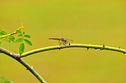 Dragon Fly Photo Prints - Blue Dasher Female Print by Al Powell Photography USA