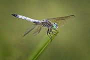 Insects Prints - Blue Dasher Print by Jeremy Martin