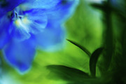 Blue Delphinium Framed Prints - Blue Delphinium Framed Print by Bonnie Bruno