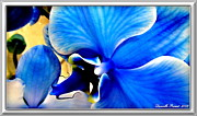 Museum Quality Posters - Blue  Diamond Orchidaceae Poster by Danielle  Parent