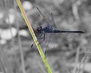 Dragon Fly Photo Prints - Blue Dragon Fly Print by Joseph G Holland
