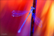 Shehan Wicks - Blue Dragon Fly
