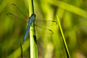 Animalia Prints - Blue Dragonfly 2 Print by Douglas Barnett