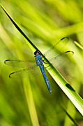 Animalia Prints - Blue Dragonfly 4 Print by Douglas Barnett