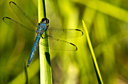 Animalia Framed Prints - Blue Dragonfly 5 Framed Print by Douglas Barnett