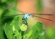 Nature Cards Photos - Blue Dragonfly and Bud by Carol Groenen
