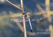 Flying Insects Posters - Blue Dragonfly Poster by Carol Groenen