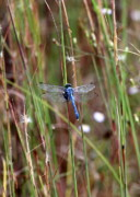Green And Blue Posters - Blue Dragonfly on Green Reeds Poster by Carol Groenen