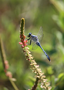 Nature Cards Photos - Blue Dragonfly on Pink Flower by Carol Groenen