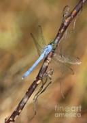 Blue Dragonfly Portrait Print by Carol Groenen