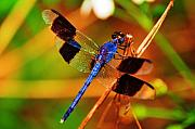 Dragonfly Photo Framed Prints - Blue Dragonfly Framed Print by Randy Aveille