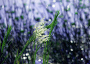 Oat Photos - Blue dreams of sunlight by Susanne Van Hulst