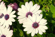Pretty Flowers Photos - Blue eyed daisies by Anthony Citro