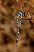 Paul Marto - Blue-eyed Darner