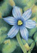 Texas Drawings - Blue Eyed Grass - 1 by Beverly Fuqua