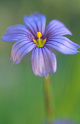 Macro Prints Posters - Blue Eyed Grass 2 Poster by Kathy Yates