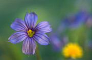 Macro Prints Posters - Blue Eyed Grass Poster by Kathy Yates