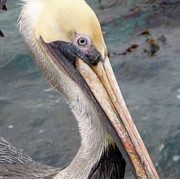 Snowy Night Night Prints - Blue Eyed Pelican Print by Jean Marshall