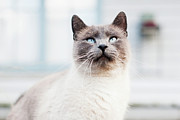 Siamese Photo Prints - Blue Eyed Siamese Cat Looking Up Print by (c) K. Miller Photographs