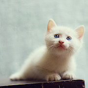 Kitten Photo Posters - Blue Eyed White Coated Kitten Poster by Nga Nguyen