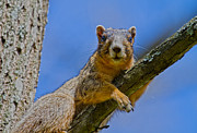 Fox Squirrel Art - Blue Eyes by Betsy A Cutler East Coast Barrier Islands