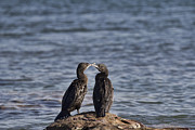 Cormorants Prints - Blue Eyes Kissing Print by Douglas Barnard