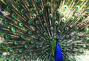 Peacock Metal Prints - Blue Eyes Metal Print by Linda Sannuti