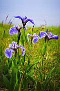 Flower Blooming Photos - Blue flag iris flowers by Elena Elisseeva