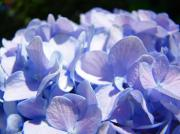 Blue Flowers Photos - Blue Floral art prints Blue Hydrangea Flower Baslee Troutman by Baslee Troutman Fine Art Print Collections