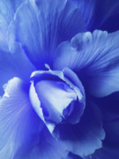 Begonia Photos - Blue Floral Begonia by Jennie Marie Schell
