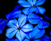 Christine Savino - Blue Flowers