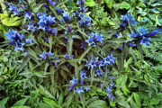 Garden Flowers Photo Originals - Blue Flowers by Lawrence Christopher