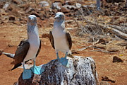 Blue-footed Boobies On Rock  Print by Sami Sarkis