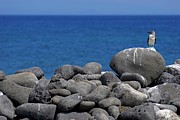 Blue-footed Booby On A Rock By Ocean Print by Sami Sarkis