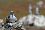 Sami Sarkis - Blue-footed Booby  on rock