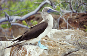 Blue-footed Booby Framed Prints - Blue-footed Booby Framed Print by Peter Scoones