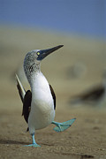 Blue-footed Booby Sula Nebouxii Print by Tui De Roy