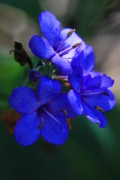 Blue Flowers Photos - Blue for the Sun by Mandy Shupp