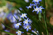 Wildflower Photos Posters - Blue For You Poster by Neal  Eslinger