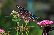 Tiger Photos - Blue Glassy Tiger Butterfly by Louise Heusinkveld