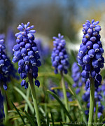 Grape Cards Posters - Blue Grape Hyacinths Poster by Melissa Nickle