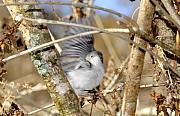 Warbler Framed Prints - Blue Gray Gnatcatcher Framed Print by David Lee Thompson